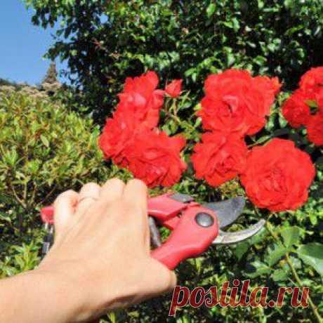 Как ухаживать за плетистыми розами после посадки | Розы в разрезе