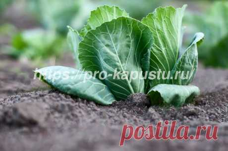 Как ухаживать за капустой на грядке - как поливать и подкармливать