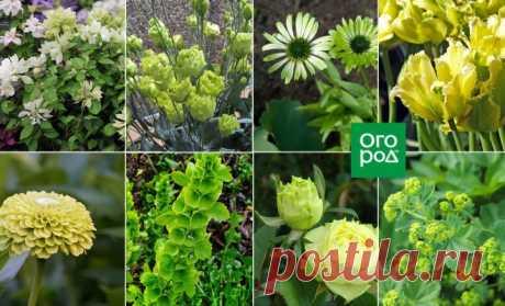 10 растений с зелеными цветками | Дизайн участка (Огород.ru)