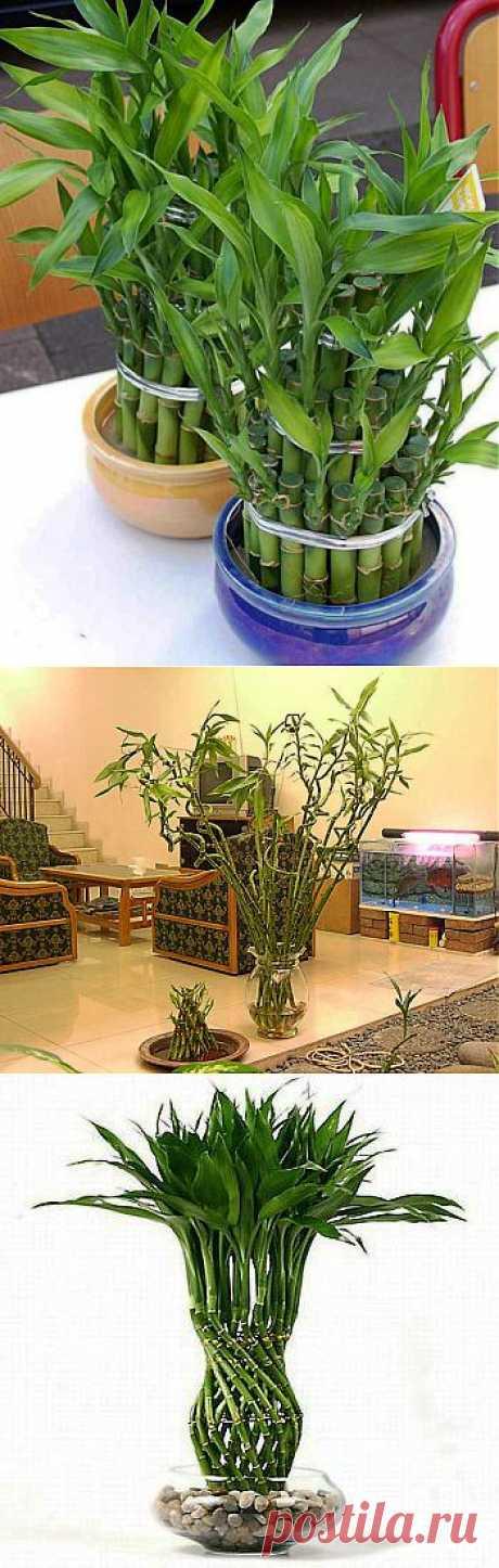 (+1) тема - Счастливый бамбук - интересное растение приносящее удачу | НАРОДНЫЕ ПРИМЕТЫ