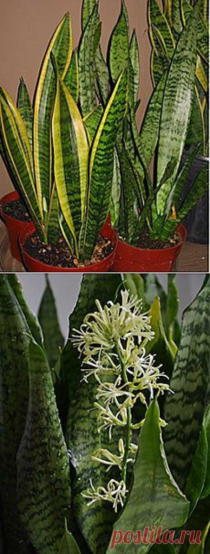 САНСЕВИЕРИЯ - комнатное растение