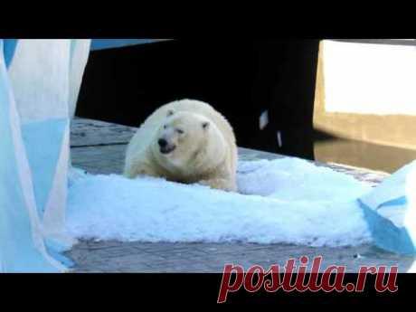Герда радуется снегу  27.08.17.Новосибирский зоопарк