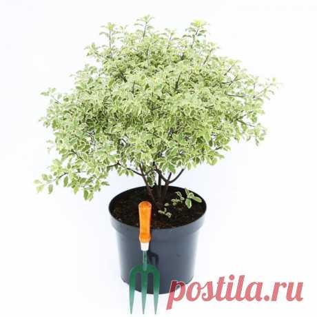 Питтоспорум уход за цветком в домашних условиях