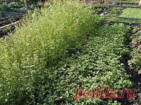 Выращивание и использование сидератов – секреты и хитрости | Дача - впрок