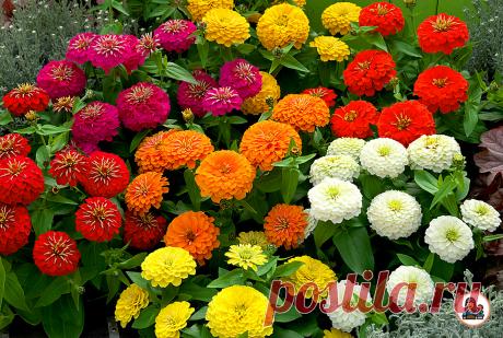 Когда весной высаживала несколько новых цветов, даже и не думала, что без особого ухода они будут вызывать восторг и восхищение   Цветущий сад   Яндекс Дзен