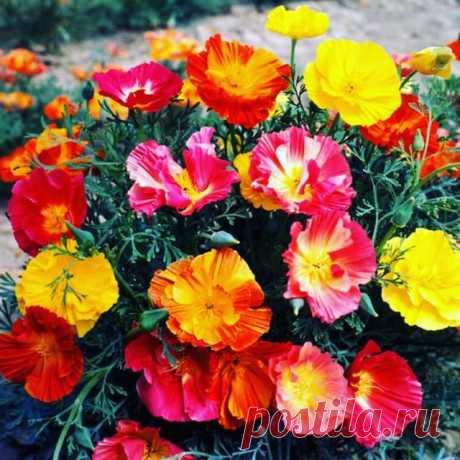 Что посадить на даче: эшшольция.  Красивый желто-оранжевый цветок на ножке длиной около 20-25 сантиметров. Его цветение продолжается все лето и напоминает цветение дикорастущих цветов. Эшшольция может быть и других расцветок, в том числе и в махровом исполнении. На ночь бутоны цветка закрываются, а утром раскрываются. Его необходимо сразу сеять в грунт, так как пересадка для него не полезна. #Комнатное_цветоводство #цветы #растения #цветоводство #садоводство #клумба #сад #...