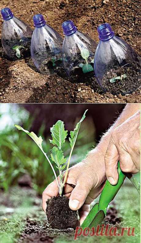 Цветная капуста: как вырастить рассаду.