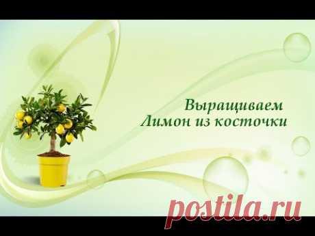 Сажаем лимон из семечка (косточки). Быстрые всходы цитрусовых сеянцев .