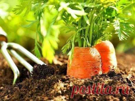 Как получить отменный урожай моркови?  В магазинах продают морковь – красавица, отборная, одна к одной. А вот на своем участке не получается вырастить морковь без брака- то перекрученная, то кривая, то двурогая. Одним словом, половина урожая выбрасывается – такую морковку и чистить неудобно, да и на терке ее не натрешь. Как же быть? Нужен правильный уход за морковью уже во время посадки.  1. Сажаем морковь бороздками, можно, конечно, сделать грядку, но не суть как важно. Б...