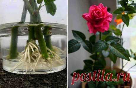Как укоренить розу из букета. Используйте натуральные стимуляторы образования корней! — В РИТМІ ЖИТТЯ
