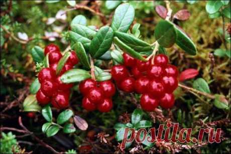 Лечебные свойства ягоды клюквы - Народная медицина - медиаплатформа МирТесен Клюква– это вечнозелёный кустарник с мелкими, невысокими стелющимися побегами. Цветочки темно-розовые мелкие, листья мелкие блестящие сверху, серебристые снизу и с восковым налётом. Ягоды клюквы при созревании выглядят как красные бусины. Раньше дикая клюква росла только на болотах, что