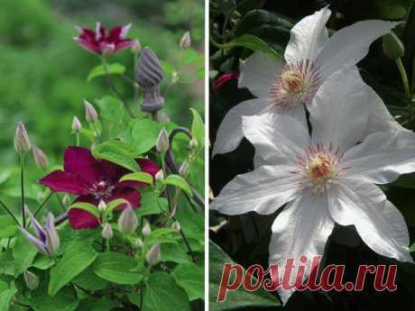 Крупная удача: популярные сорта крупноцветковых клематисов