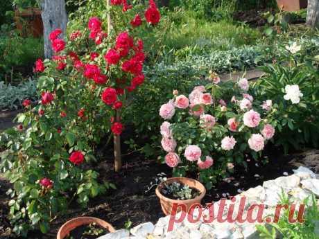 La fertilización para las rosas — 6 sotok