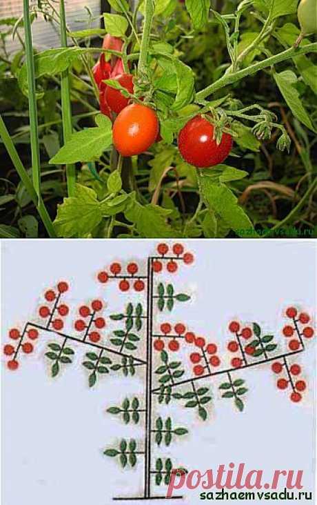 Зачем проводят пасынкование помидоров (томатов) | Азбука садовода