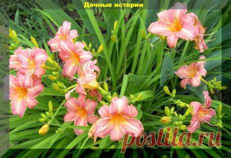 Благодаря самому простому весеннему уходу лилейники отблагодарят шикарным цветением | Дачные истории | Яндекс Дзен