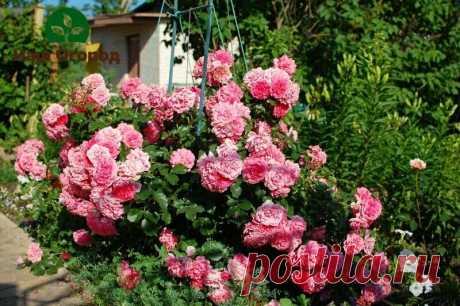 Обработайте розы сейчас от болезней и вредителей: простое и эффективное средство | НАШ ОГОРОД | Яндекс Дзен