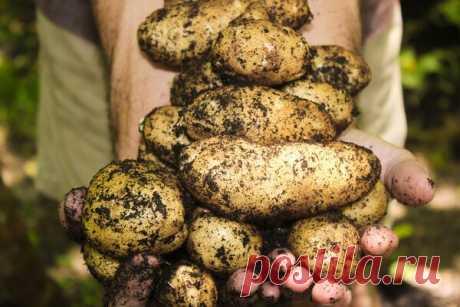 «У меня не большой огород, но богатый урожай картофеля» Делюсь своими секретами | Блоги о даче и огороде, рецептах, красоте и правильном питании, рыбалке, ремонте и интерьере