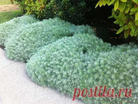 Как озеленить сад с помощью полыни   Ландшафтный дизайн   Яндекс Дзен