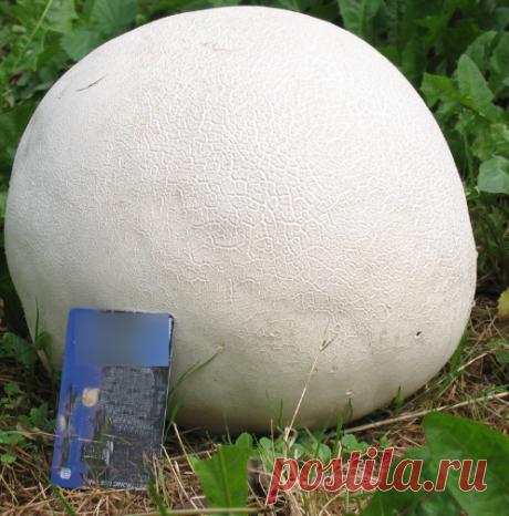 Головач Гигантский (дедушкин табак): гриб из нашего детства до 25 кг весом | В лес по грибы | Яндекс Дзен