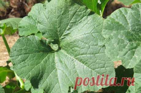 Тыквенные листья для здоровья и красоты