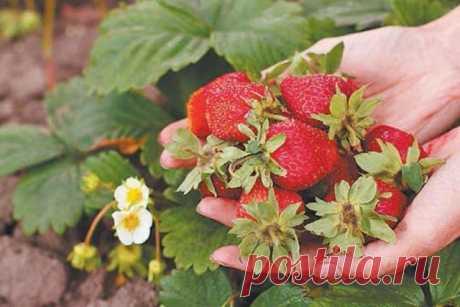 Что нужно клубнике? 4 правила для хорошего урожая Как правильно выращивать клубнику?