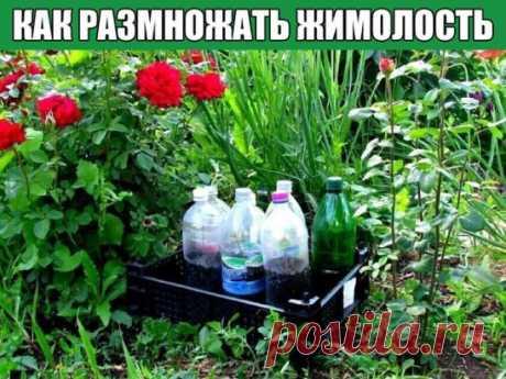 КАК РАЗМНОЖАТЬ ЖИМОЛОСТЬ  А будем мы сажать черенки в 1,5-литровые бутылки, наполненные плодородной землёй. Черенки нужно брать только от здоровых и дающих хороший прирост этого года растений.  Выбираем веточку этого года с хорошим приростом. Сейчас важный момент: отщипываем веточку с «пяточкой», на которой останется небольшое количество коры старой ветки. Это место лучше всего даёт корни.  Строго по инструкции разводим «Корневин», замачиваем наши черенки, убрав нижние листочки, а верхн
