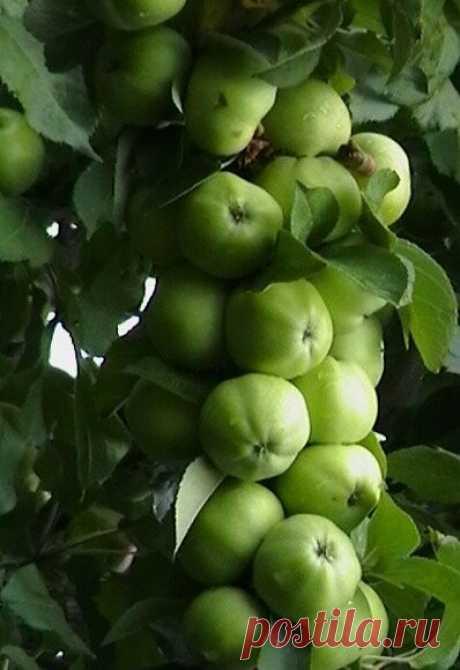 Крупноплодные и колонновидные яблони в Сибири - это реальность!