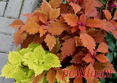 Колеусы – цветной феерверк: особенности выращивания ~ Planetalsad