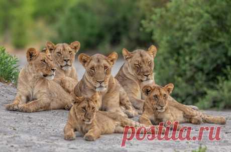 В индийском городе Джунагадхе очевидцы сняли появление целого прайда львов – животные спокойно прогуливались по ночным улицам
