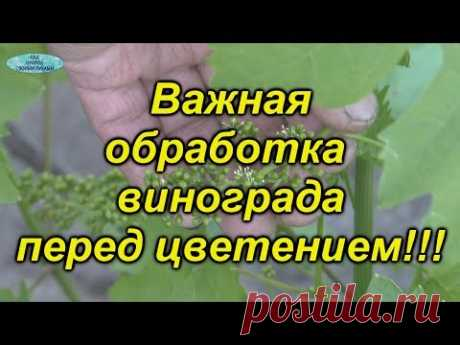 ЧЕМ обработать виноград перед цветением? Обязательная листовая обработка винограда.
