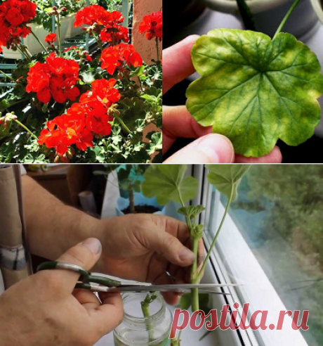 9 illnesses which the geranium treats. Not a flower, and assistant to folk healers!