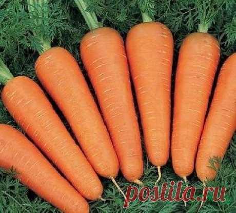 Эффективный способ посадки моркови   Прореживать морковь не нужно!  Делается так: за 10-12 дней до посева семена моркови завязываем в тряпочку, посвободнее. Закапываем во влажную землю на штык лопаты. В течение этого срока из семян выветриваются эфирные масла, которые мешают семенам прорасти.   По истечении указанного срока откапываем узелки с семенами из земли. Семена будут уже набухшие, крупные, почти проросшие. Высыпаем их в пиалу и припудрим обычным крахмалом. Семена п...