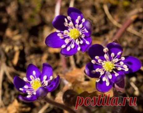 Печеночница – идеальное растение для тени и полутени