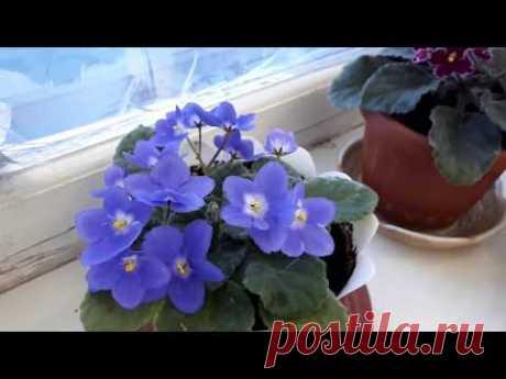 Фиалки! Очень важное условие для непрерывного цветения?