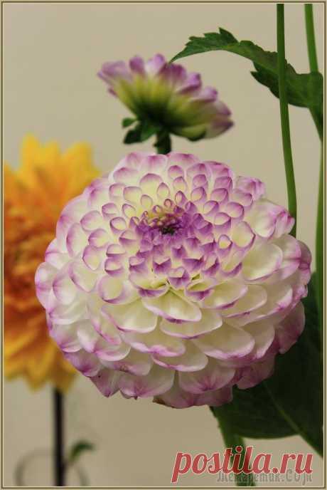 Георгины-последние цветы осени (ч 2)