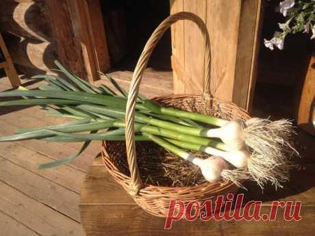 Чем подкармливать чеснок для хорошего урожая? Чеснок является важной овощной культурой, обладающей лечебными и пряными свойствами. Вырастить обильный урожай непросто, так как он требователен к составу почв и уходу. Чем подкормить чеснок, чтобы по...