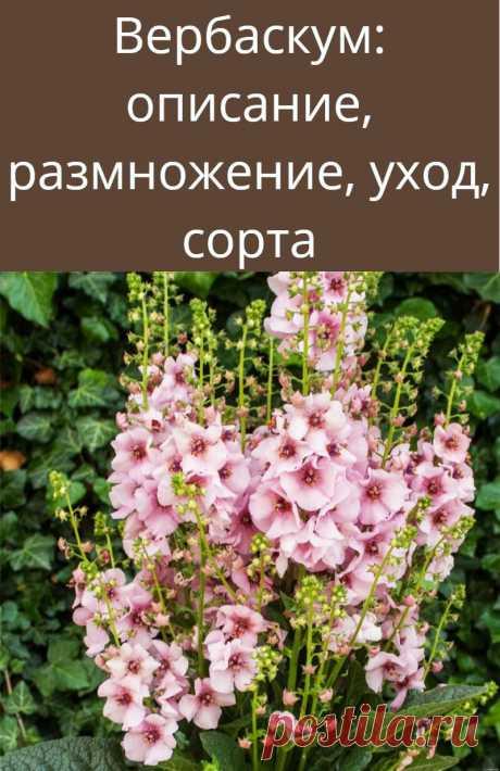 Вербаскум: описание, размножение, уход, сорта