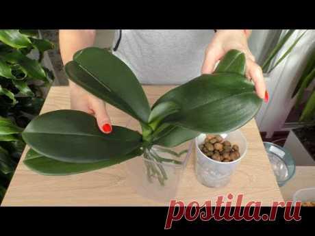 Наращиваю корни орхидее. БЫСТРЫЙ, ЭФФЕКТИВНЫЙ способ.
