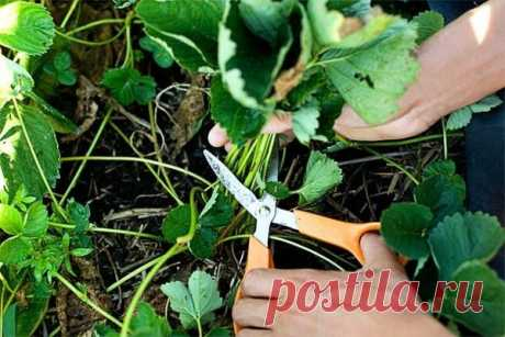 Уход за клубникой после плодоношения - вклад в будующий урожай   Твоя усадьба   Яндекс Дзен