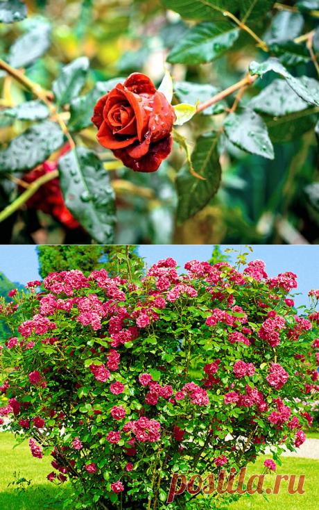 Какие розы нужно обрезать осенью, а какие не стоит трогать   посуДАЧИм об огороде   Яндекс Дзен