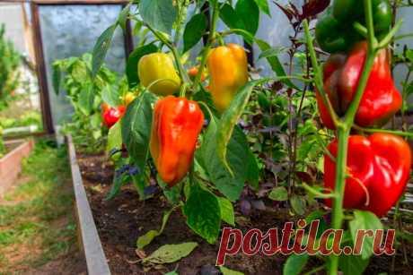 Рядом с какими огородными культурами перец хорошо растет? | О Фазенде. Загородная жизнь | Яндекс Дзен