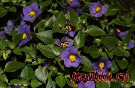 Ароматные комнатные растения — Чудеса