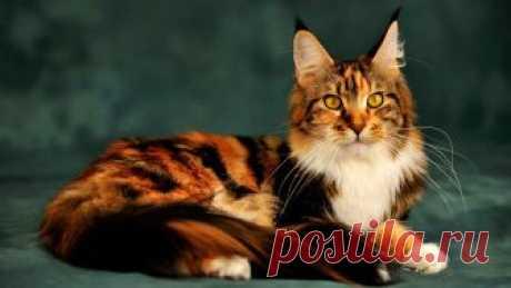 Кот Мейн-кун: фото и описание пород