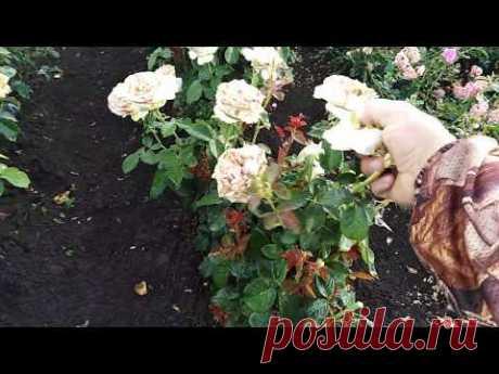 Как заставить розу цвести повторно!!!