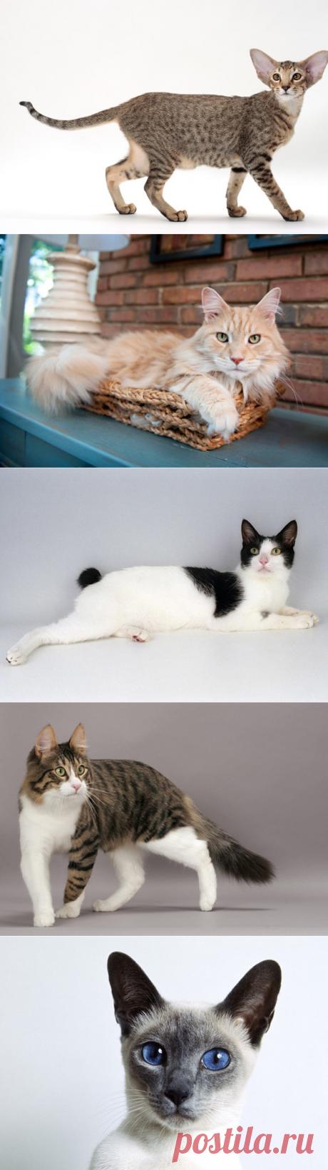5 пород кошек, которые будут постоянно мяукать, вопить и шуметь | PetTips