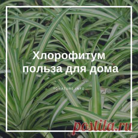 ХЛОРОФИТУМ — ПОЛЬЗА ДЛЯ ДОМА  #toNatureInfo #КомнатныеРастения #Растения #Хлорофитум #ВыращиваниеХлорофитума #ПолезныеРастения #УсловияДляХлорофитума #ПользаХлорофитум