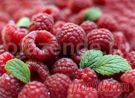 Урожайная обрезка малины по Соболеву | О Фазенде. Загородная жизнь | Яндекс Дзен