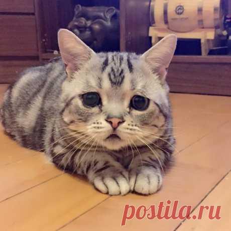 Луху - самая печальная кошка из Китая