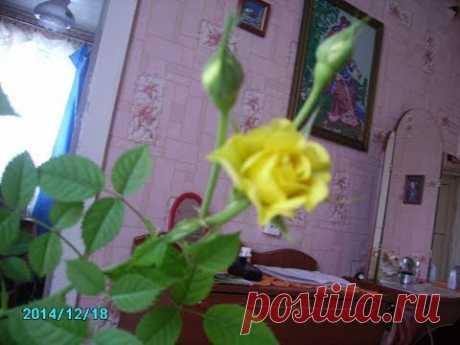 черенкование роз осенью - результаты радуют
