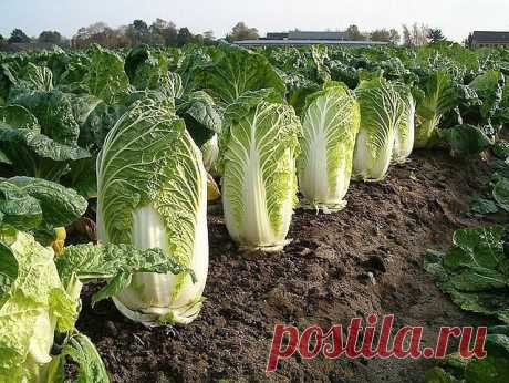 САМЫЕ ВАЖНЫЕ СЕКРЕТЫ ХОРОШЕГО УРОЖАЯ ПЕКИНСКОЙ КАПУСТЫ          Выращивание пекинской капусты считается доступным каждому огороднику, будь то «зеленый» новичок или бывалый садовод со стажем. Растет этот неприхотливый овощ хорошо и быстро, легко получить д…